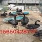 山东黑天鹅养殖基地 一对纯种黑天鹅出售价格 黑天鹅养殖技术