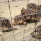 鸵鸟养殖场 鸵鸟价格 鸵鸟出售出租
