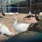 蓝孔雀苗价格 孔雀活体出售  脱温孔雀苗饲养方法 成年商品孔雀养殖