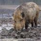 目前纯种野猪价格多少钱一头大约批发价格