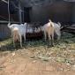 长期出售奶山羊 优质奶山羊价格 高产奶山羊 奶山羊养殖基地 奶山羊里好